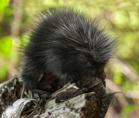 Baby Porcupine (Erethizon dorsatum) on Branch