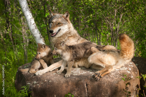 Leinwanddruck Bild Grey Wolf (Canis lupus) and Pups Lie on Rock Together