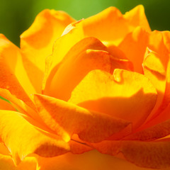 Nature. Orange rose flower for background