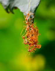 red ant army  are swarming ladybug for food
