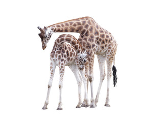 Two standing giraffes isolated on white background