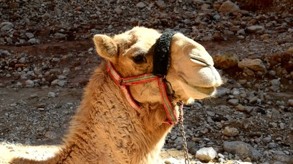 the face of a camel in Jordan
