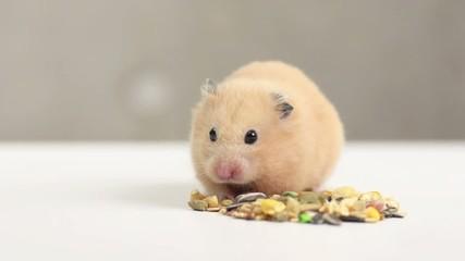 ペットフードを食べるハムスター