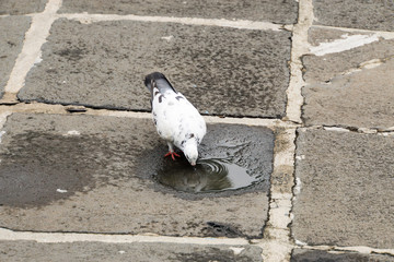 White pigeon drinking water in the temple, Bangkok, Thailand