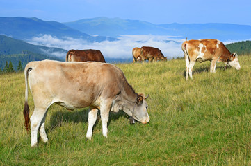 Cows on a summer mountain pasture