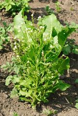 Horseradish (Cochlearia armoracia)  blossom