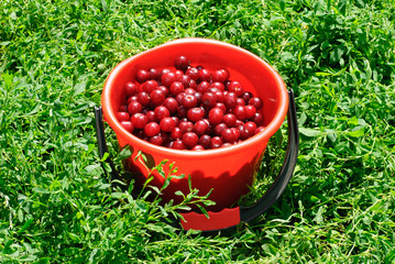 Red Cherries on red bucket and green background