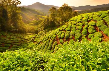 Tea Plantation Fields at Sunrise