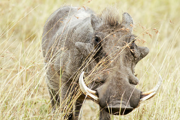 Warthog on the Masai Mara in Africa
