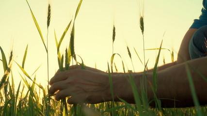 Ear of wheat in the men hands farmer.