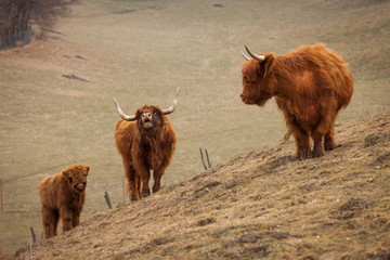 bull, cow and veal on nature