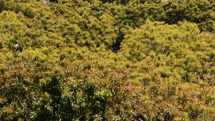 Plantation of avocados fruit tree