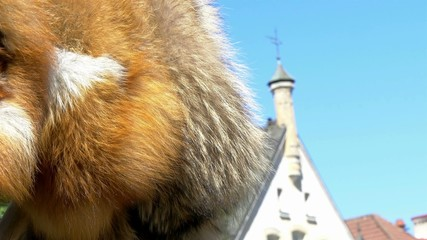 The brown fur of a viking in Estonia GH4 4K UHD