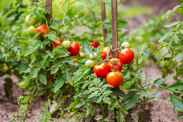Ripe tomatoes growing on the branches