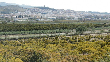 Plantation of avocados fruit tree in south Spain