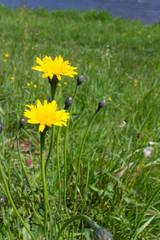 Two dandelion flowers