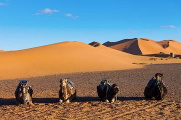 Camels resting in Sahara Desert in Morocco
