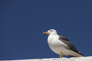 Seagull sitting on a wall with blue sky