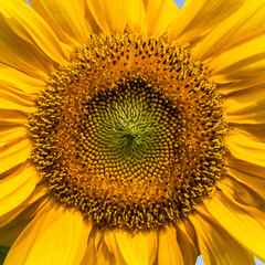 Sunflower closeup with dew on petals