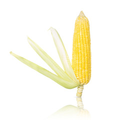 Golden sweet corn with shadow effect isolated on white.