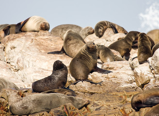 Brown fur seals, South Africa