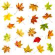 Set of falling autumn maple leaves on white background.