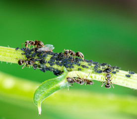 Lice and Ants
