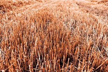Grain harvest - autumn