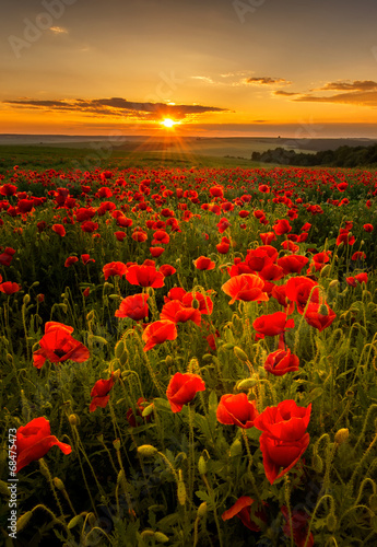 Poppy field at sunset - 68475473