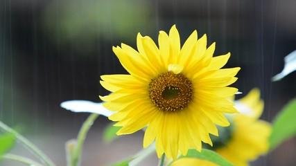 Falling rain drops on a flower of a sunflower in the garden.