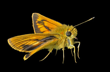 Small butterfly (Augeades) 15