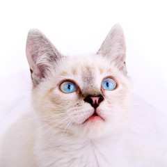 White kitten with blue eyes looking up