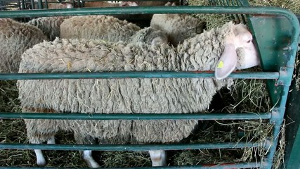 Sheep on livestock exhibition - Agricultural Fair