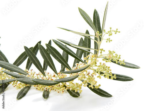 Olive twig blossom