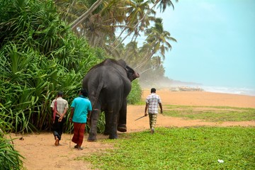 éléphant sri lanka plage