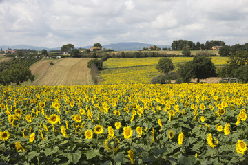 Field of sunflowers, Perugia countryside