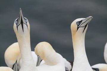 uccello sula bassana helgoland mare del nord germania