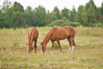 two brown horses grazing in a field
