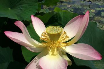 lotosblüte