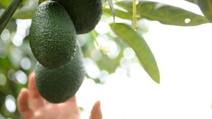 Picking avocados tropical fruit