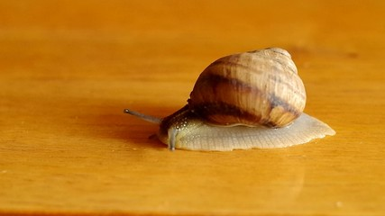 Snail on table close-up
