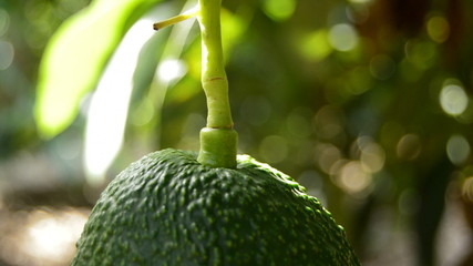 Avocado hass hanging at tree close up