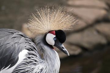 Funny bird - African crowned crane portrait