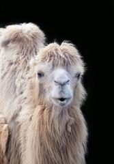 Funny camel portrait