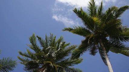 Coconut Palm Tree against Blue Sky. Slow Motion.