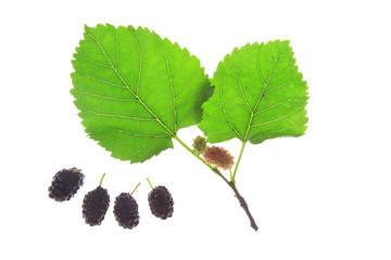 Schwarze Maulbeere (Morus nigra)
