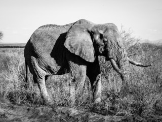 Old elephant in black and white