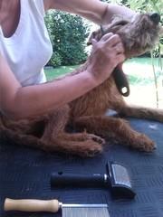 Irischer terrier beim trimmen