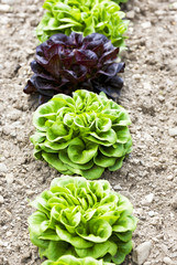 Salatköpfe
