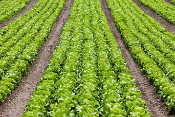 Salatfeld mit Kopfsalat